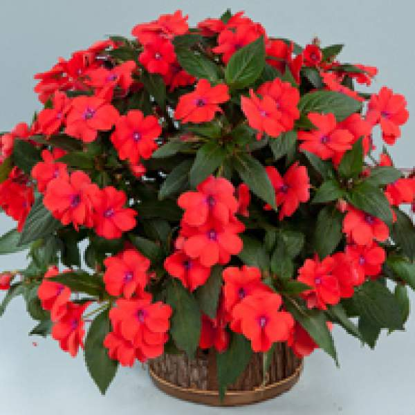 New Guinea Impatiens Sun Harmony Salmon - Rooted Cutting Liner