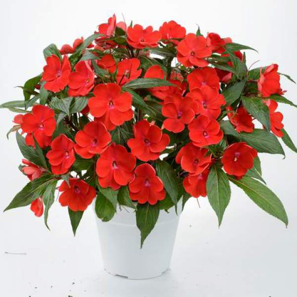 New Guinea Impatiens Sun Harmony Scarlet - Rooted Cutting Liner
