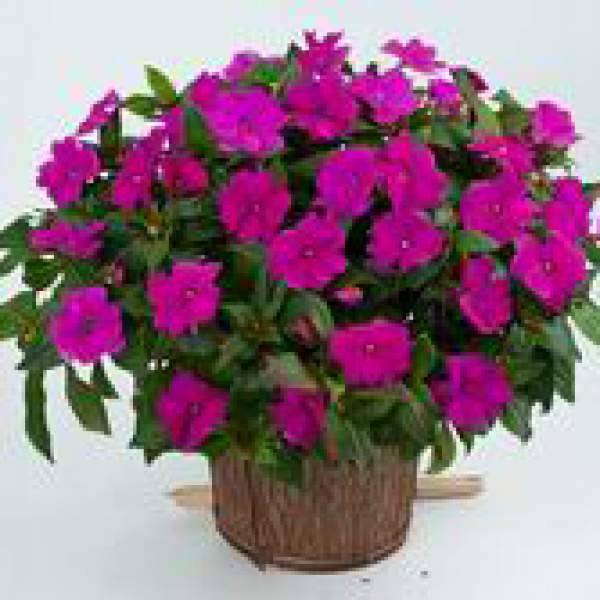 New Guinea Impatiens Sun Harmony Violet - Rooted Cutting Liner