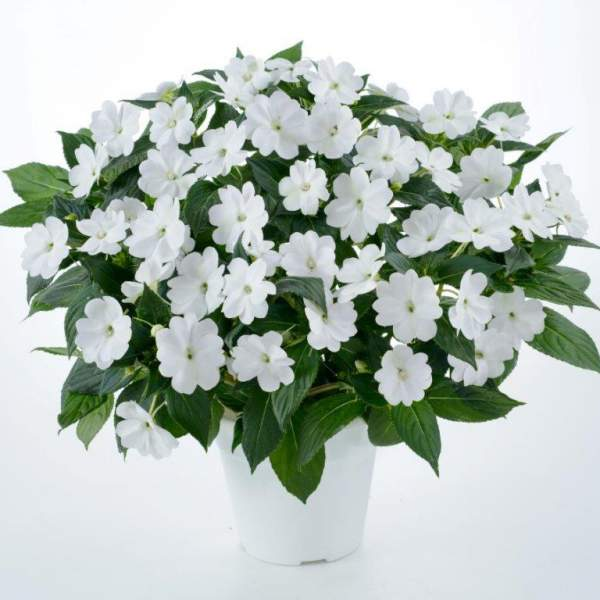 New Guinea Impatiens Sun Harmony White