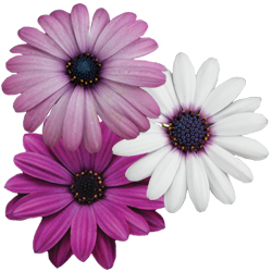 Image Of Osteospermum Assorted