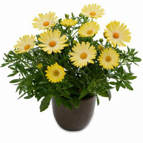 Osteospermum Ostica Pineapple - Rooted Cutting Liner