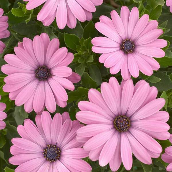 Osteospermum Ostica Pink Imp - Rooted Cutting Liner