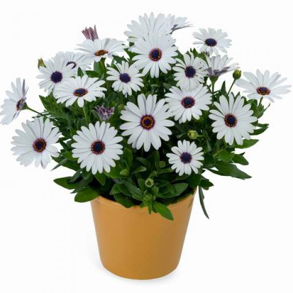 Osteospermum Ostica Purple Eye - Rooted Cutting Liner