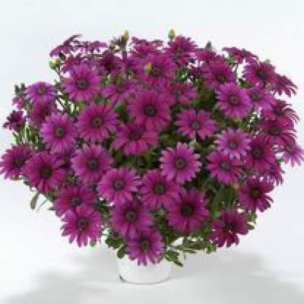 Image Of Osteospermum Ostica Purple Imp