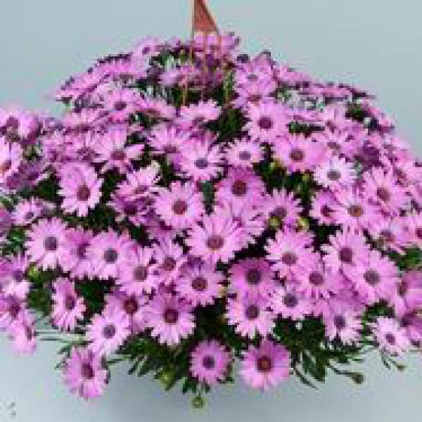 Osteospermum Osticade Pink - Rooted Cutting Liner