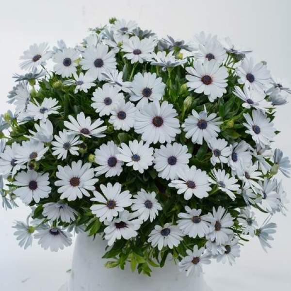 Osteospermum Osticade Pure White - Rooted Cutting Liner
