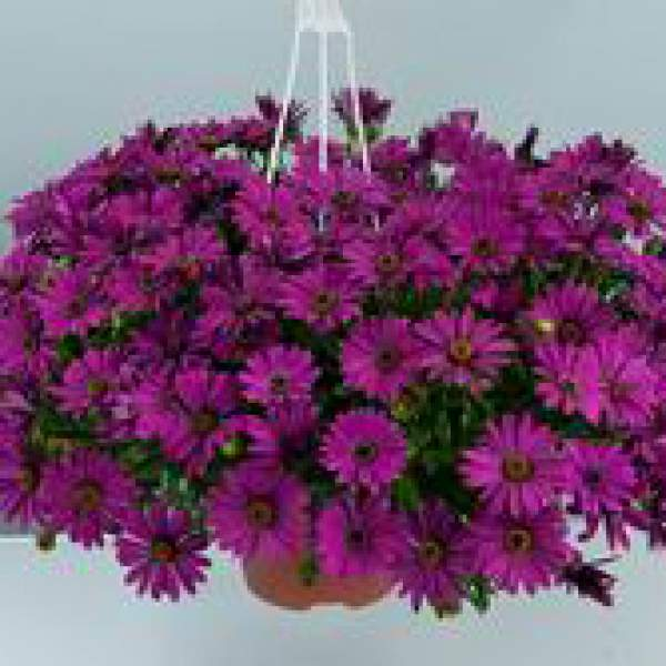 Osteospermum Osticade Purple - Rooted Cutting Liner