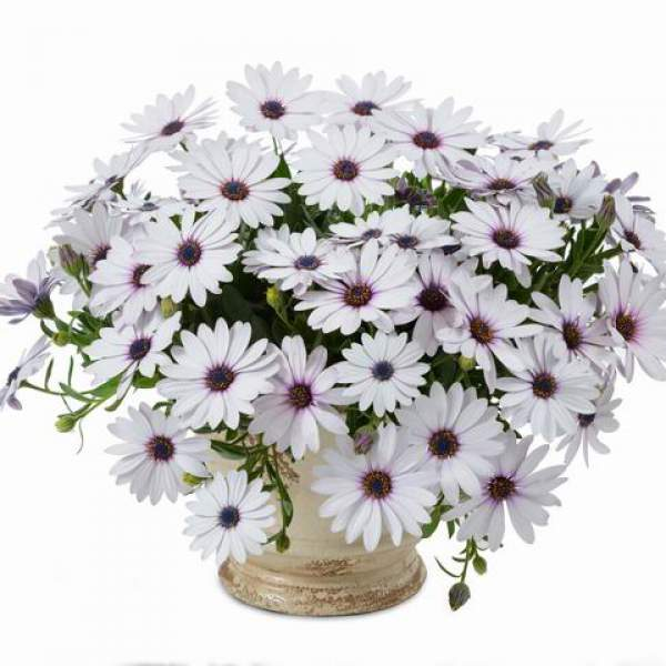 Osteospermum Osticade White Blush - Rooted Cutting Liner