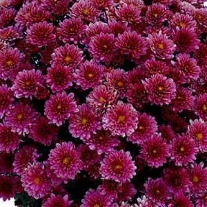 Belgian Mum Padre Cerise  - Rooted Cutting Liner