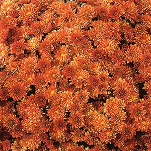 Belgian Mum Padre Orange - Rooted Cutting Liner