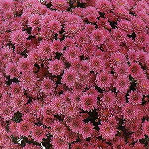 Belgian Mum Padre Pink - Rooted Cutting Liner
