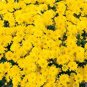 Belgian Mum Padre Yellow - Rooted Cutting Liner