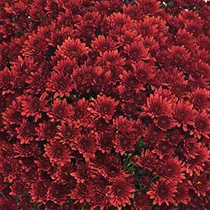 Belgian Mum Pavia Red - Rooted Cutting Liner