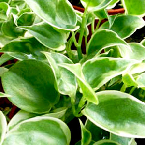 Image Of Peperomia Cupid