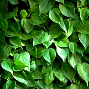 Image Of Peperomia Green Scandens
