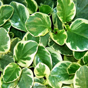 Image Of Peperomia Variegated Scandens