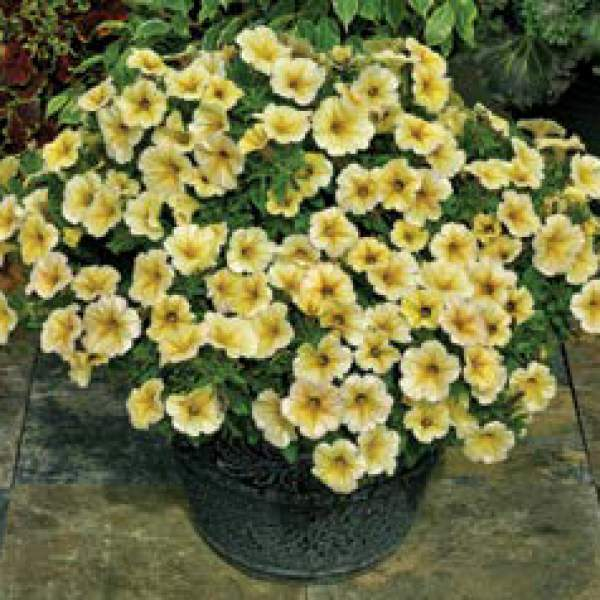 Petchoa Supercal Light Yellow - Rooted Cutting Liner
