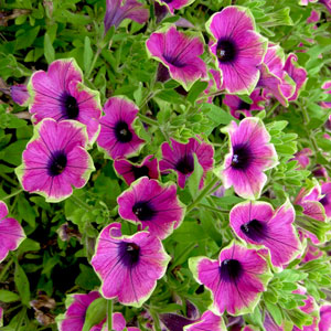 Petunia Crazytunia Kermit Purple - Rooted Cutting Liner