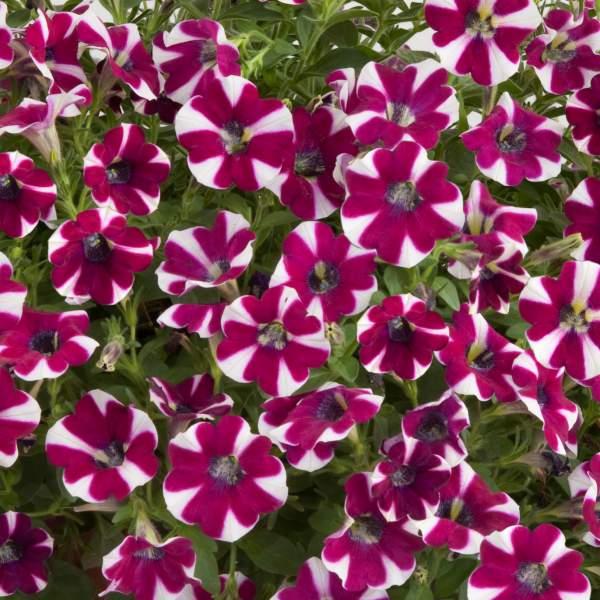 Image Of Petunia Cascadia Bicolor Cabernet