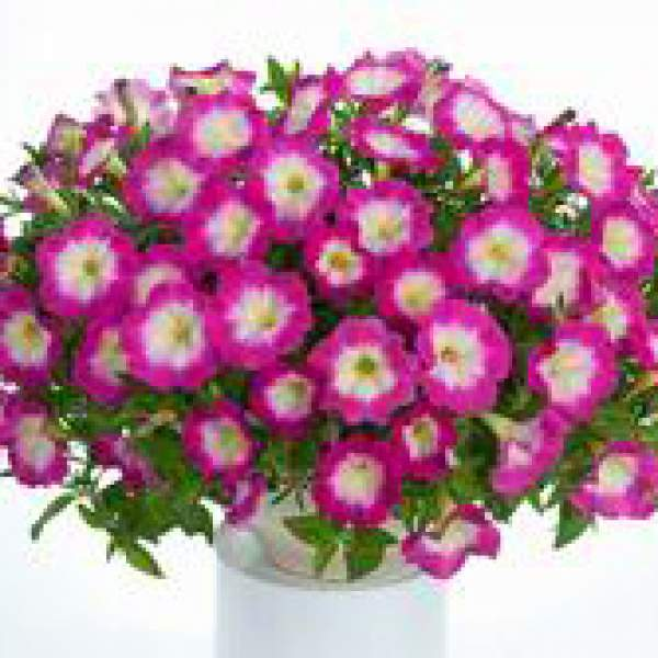 Image Of Petunia Cascadia Fantasy Hot Pink