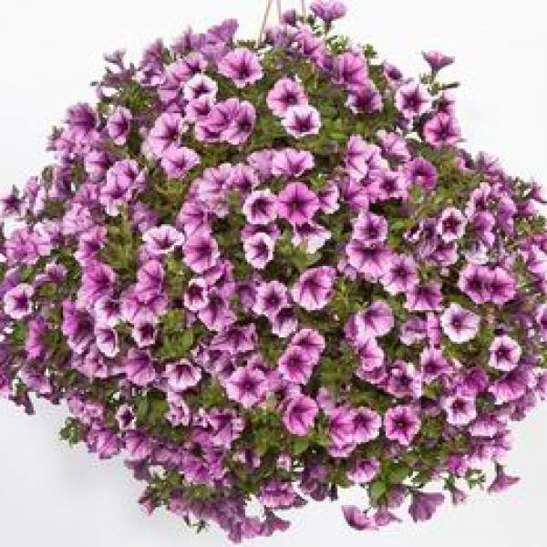 Petunia Cascadia Pink Spark Improved - Rooted Cutting Liner