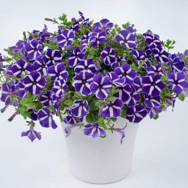 Petunia Cascadia Purple Gem - Rooted Cutting Liner