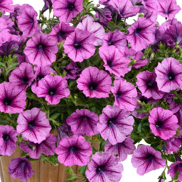 Image Of Petunia Cascadia Purple Spark