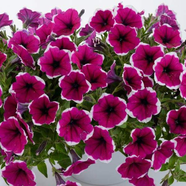 Petunia Cascadia Rim Cherry - Rooted Cutting Liner