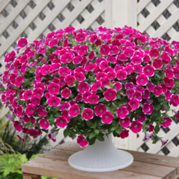 Petunia Cascadia Rim Chianti - Rooted Cutting Liner