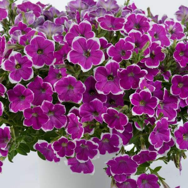 Petunia Cascadia Rim Fantasy - Rooted Cutting Liner