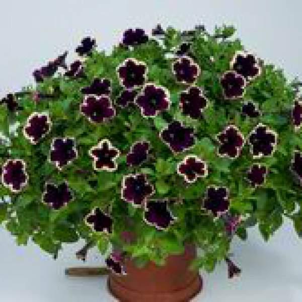 Image Of Petunia Cascadia Rim Magenta