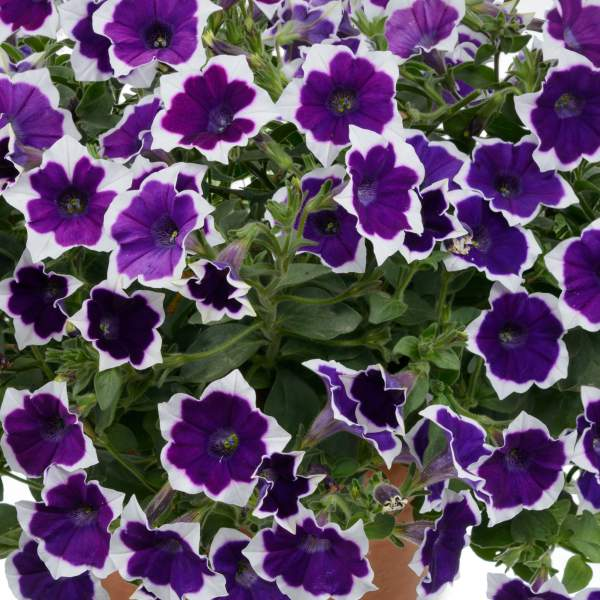 Petunia Cascadia Rim Violet - Rooted Cutting Liner