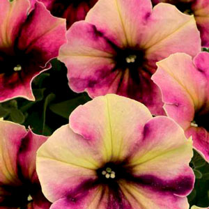 Petunia Crazytunia Blackberry Cheesecake - Rooted Cutting Liner