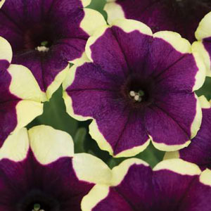 Image Of Petunia Crazytunia Good Night Kisses
