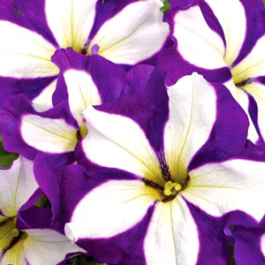 Petunia Crazytunia Lucky Lilac - Rooted Cutting Liner