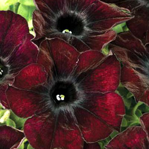 Image Of Petunia Crazytunia Mahogany Queen