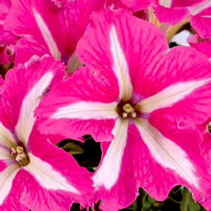 Petunia Crazytunia Pink Frills - Rooted Cutting Liner