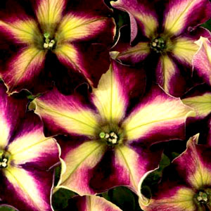 Petunia Crazytunia Pulse - Rooted Cutting Liner