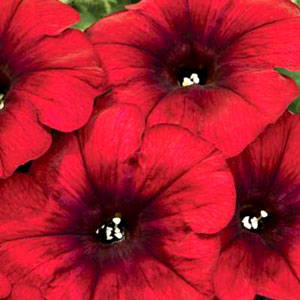 Petunia Crazytunia Red Blues