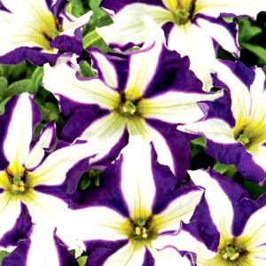 Petunia Crazytunia Starlight Blue - Rooted Cutting Liner