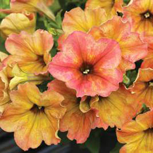 Image Of Petunia Crazytunia Terracotta