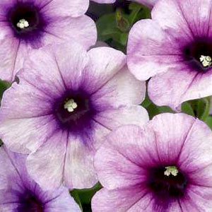 Petunia Crazytunia Twilight Blue - Rooted Cutting Liner