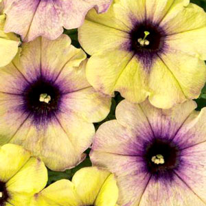 Petunia Crazytunia Twilight Lime - Rooted Cutting Liner