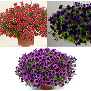 Petunia Littletunia Assortment - Rooted Cutting Liner