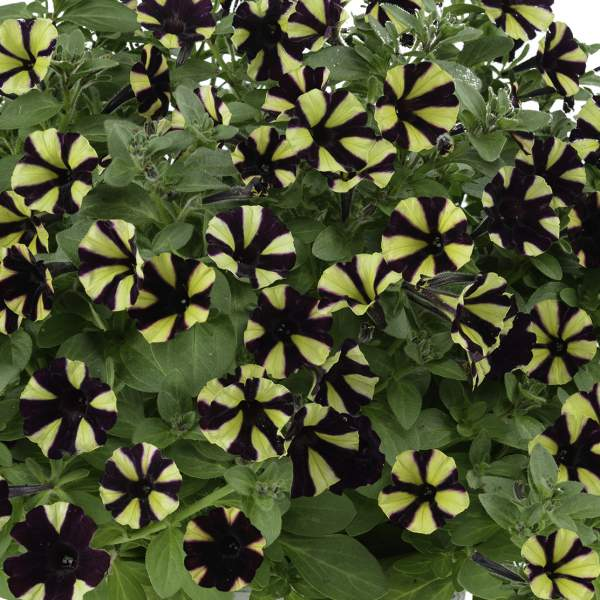 Petunia Littletunia Bicolor Black - Rooted Cutting Liner