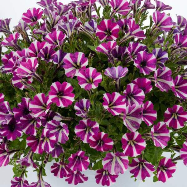 Petunia Littletunia Bicolor Bliss - Rooted Cutting Liner