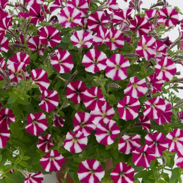 Petunia Littletunia Bicolor Illusion - Rooted Cutting Liner