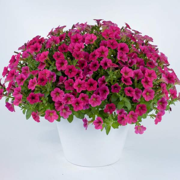 Petunia Littletunia Fuchsia - Rooted Cutting Liner