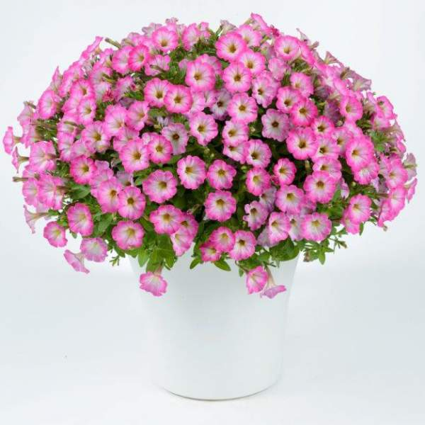 Image Of Petunia Littletunia Pink Frills